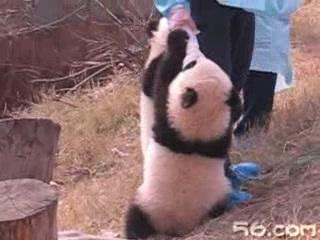 熊猫宝宝抱大腿 幼儿园