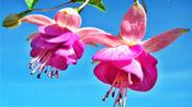 红蔷薇一首伤感情歌《思念的别离》好听极了