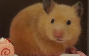 【仓鼠:biubiu】米熊的小日常——第一期:BIU~新天地!