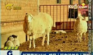 新疆零下35℃ 喵星人躲在绵羊身上取暖160123在线大搜索