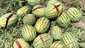 2千余西瓜被砍烂急坏农妇:等交学费