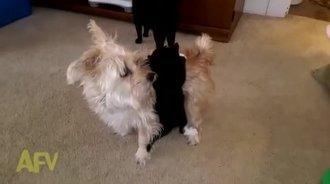 小狗长猫咪宽,猫咪绑在小狗上,小狗不让猫咪绑在小狗上