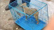 大山里中华田园犬后代,打猎只是酒后甜点,一窝小狗被抢购完