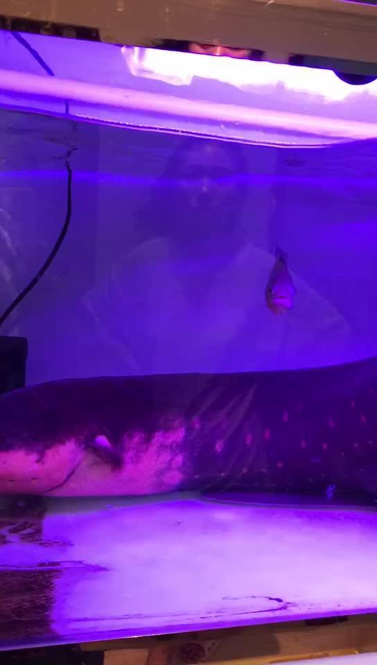 食人鱼VS电鳗(下集)