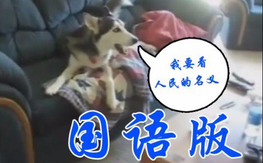 【国语版】二哈:别吵!我要看人民的名义!!!