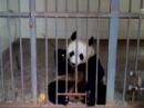 碧峰峡熊猫三