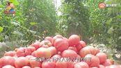 这种西红柿千万别买回家!化学成分超标,吃到肚子里就是肝父找事