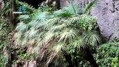 壮观 广西发现世界级大型天坑群:19个天坑组成 坑底发现珍稀植物