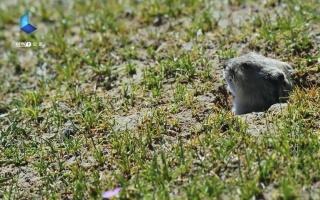 高原跃动的音符——鼠兔