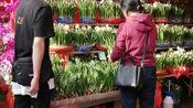 深圳花市上,父子二人在经营一家水仙花档位,看生意怎么样