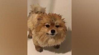 这么可爱的狗狗洗个澡之后,缩水像个刺猬