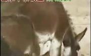丰泰牧业肉驴养殖技术视频