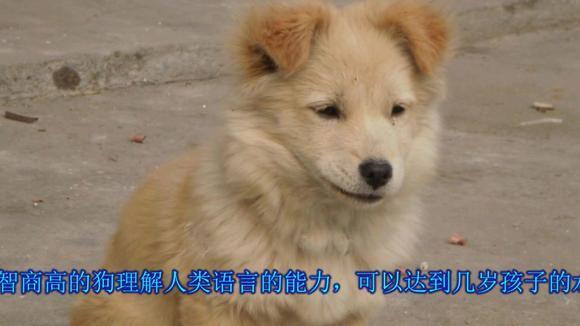 中国农村土狗智商没有其它狗高吗?