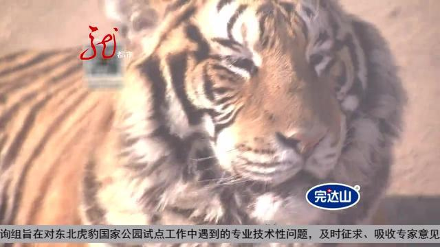 黑龙江省将建立东北虎豹国家公园