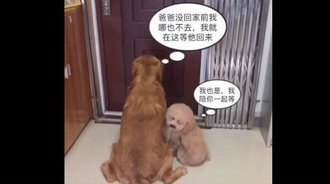 金毛泰迪趴门口等主人回来,说好等的泰迪咋走了!