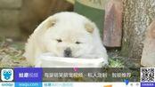 松狮幼犬怀疑水